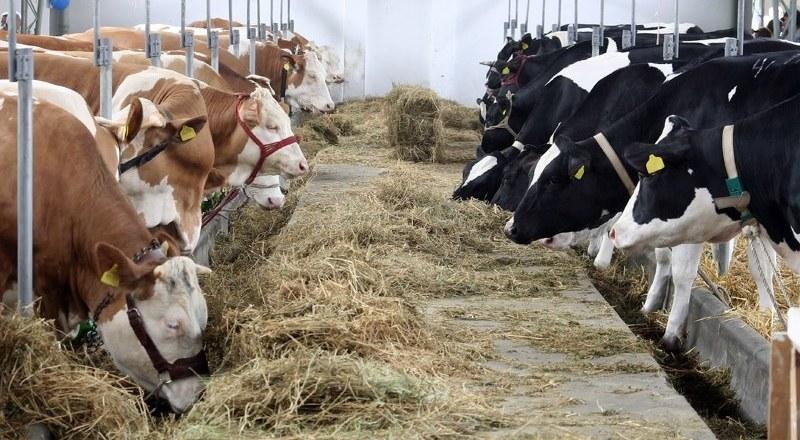 Crema News - Schiacciato da una mucca