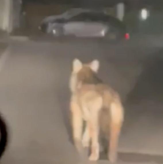 Crema News - Lupo o cane?